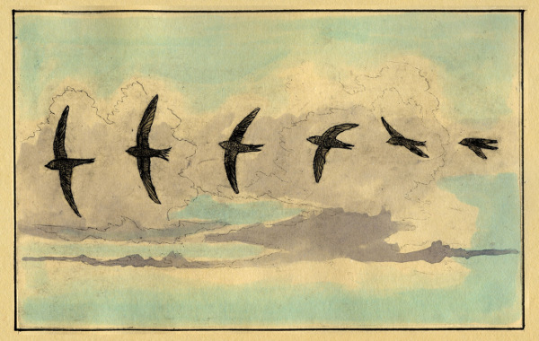 Swifts and Martins of Selborne Swifts flight