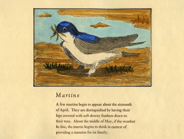 Swifts and Martins of Selborne Martins